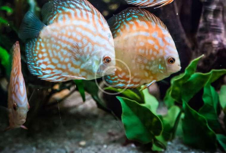 Piranha Keeping for Beginners